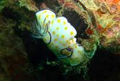 images/Photos-Plongee/plongee-nudibranche.jpg